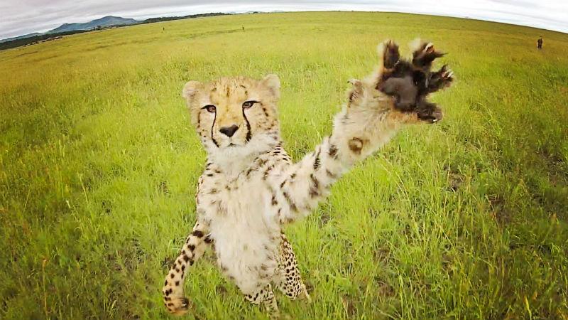 Cheetah animal drone